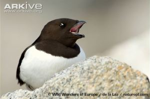 little-auk-calling